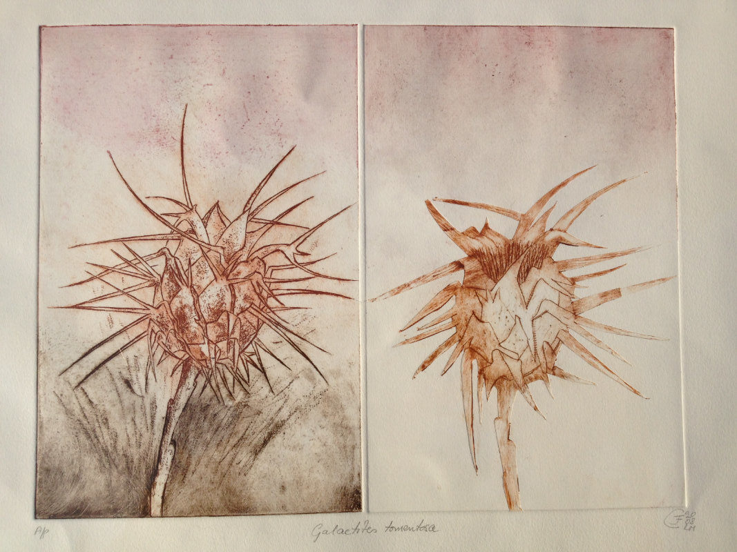 Galactiles Tormentosa Thistles - Etching and Dry Point